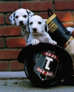 Dalmatians in fire helmet